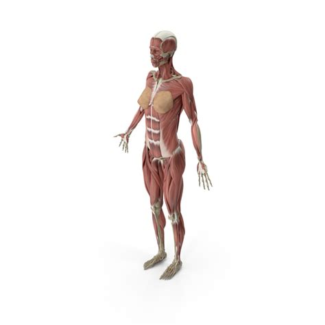 Female Muscular System PNG Images & PSDs for Download