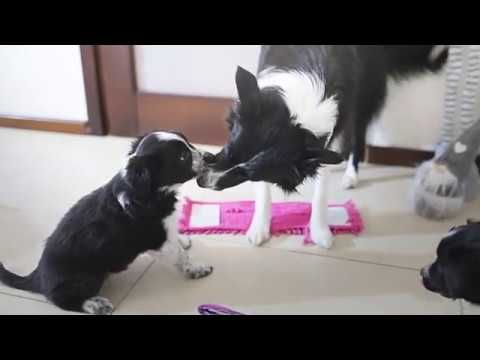 Border collie: puppies 3 weeks old - YouTube