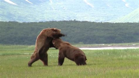 Battle Of The Giant Alaskan Grizzlies, grizzly vs grizzly