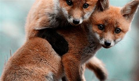 Animals cute baby Foxes mobile wallpaper - The Mobile